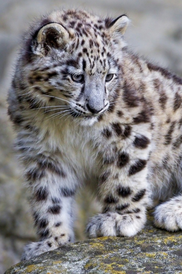 Baby Snow Leopard Mobile Wallpaper Mobiles Wall