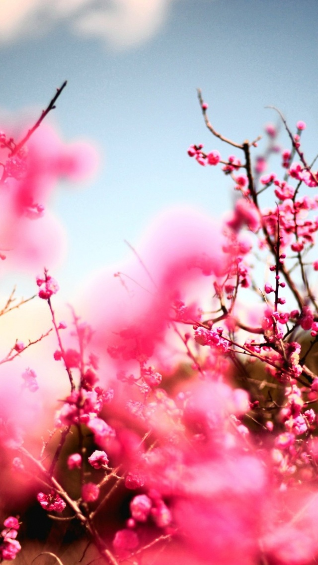 Sakura Flower Wallpaper Mobile Flowers Healthy