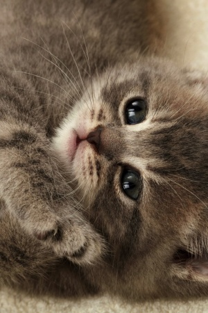 Blanket Kitten Mobile Wallpaper