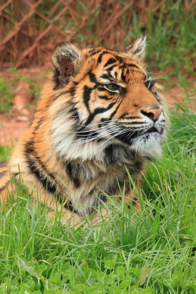 Big Cat Tiger Mobile Wallpaper Mobiles Wall