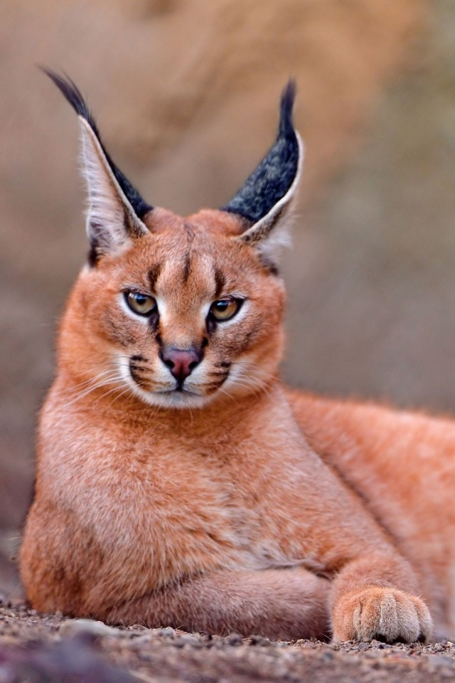 Caracal Big Cat Mobile Wallpaper Mobiles Wall