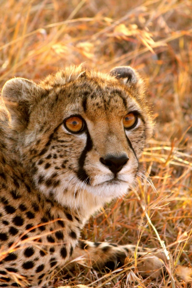 Cheetah cat mobile wallpaper mobiles wall download now voltagebd Choice Image