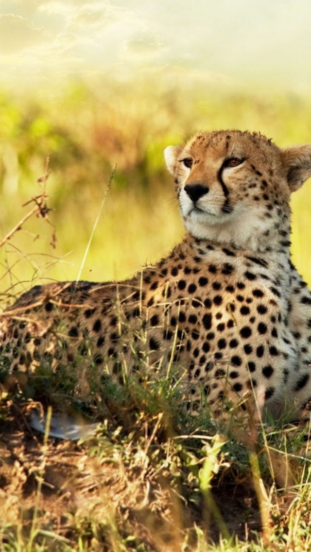 Cheetah savanna africa mobile wallpaper mobiles wall download now voltagebd Choice Image