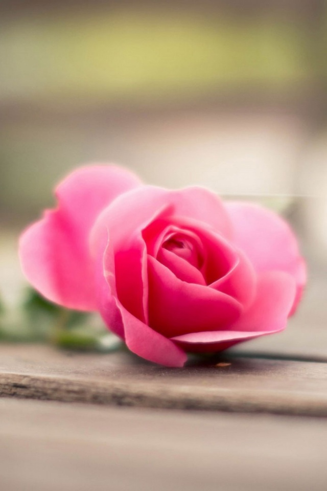 Flower Pink Rose Bokeh Mobile Wallpaper 1281 Views Preview 1481