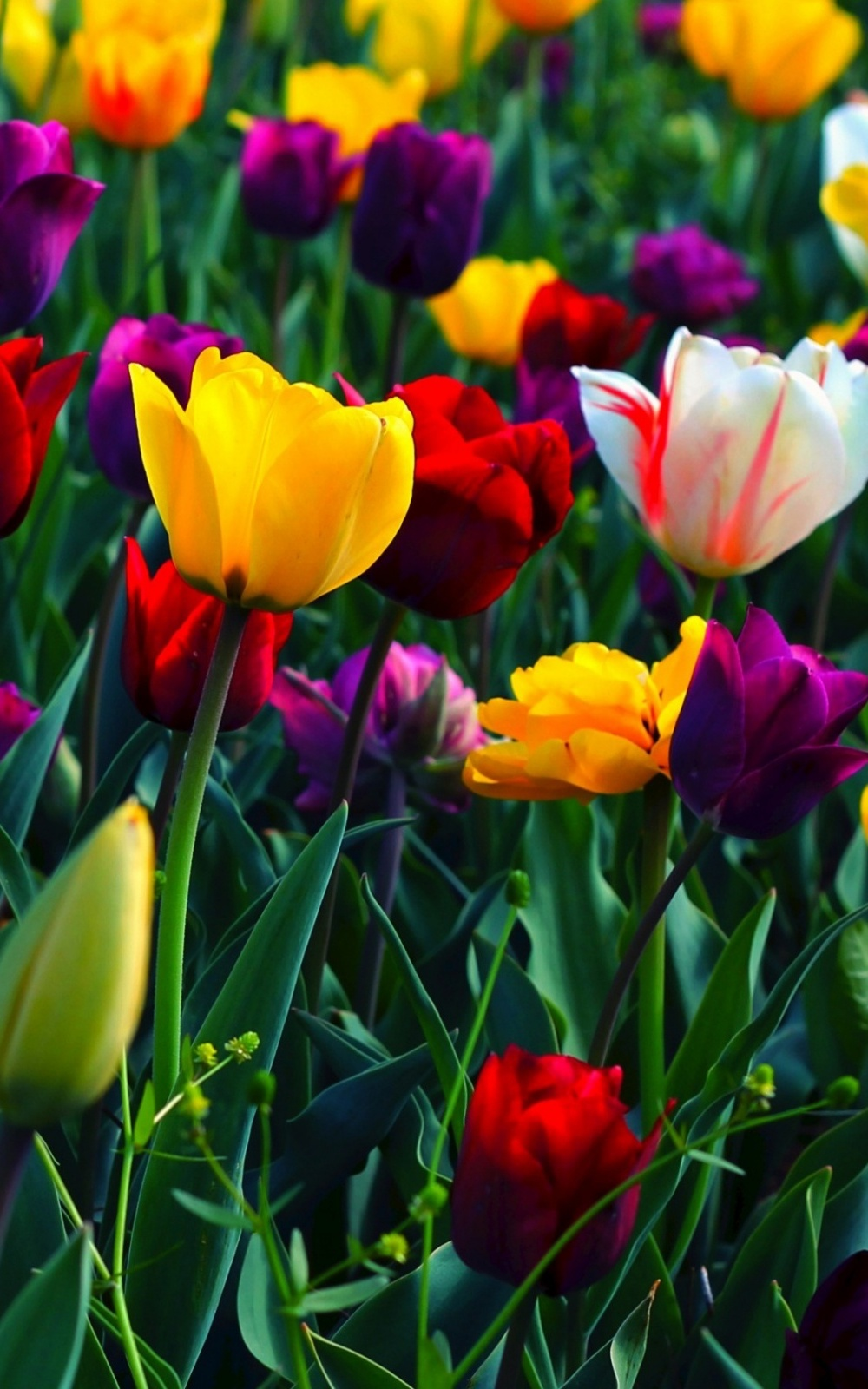 colorful flowers mobile wallpaper - mobiles wall