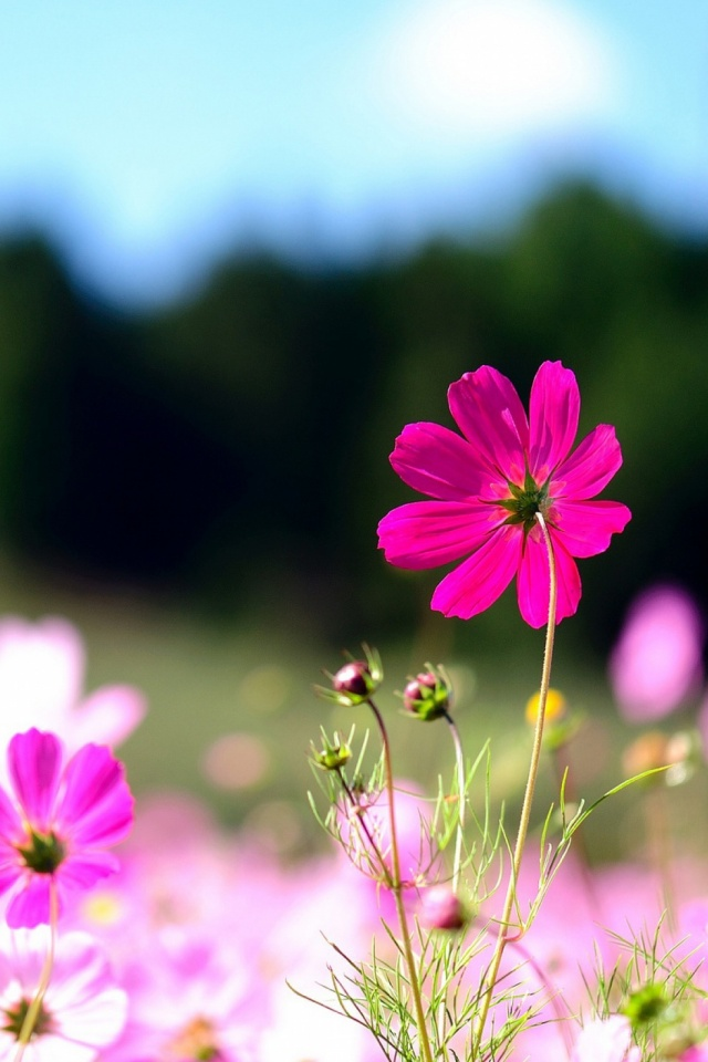 Pink Cosmos Flowers Mobile Wallpaper Mobiles Wall