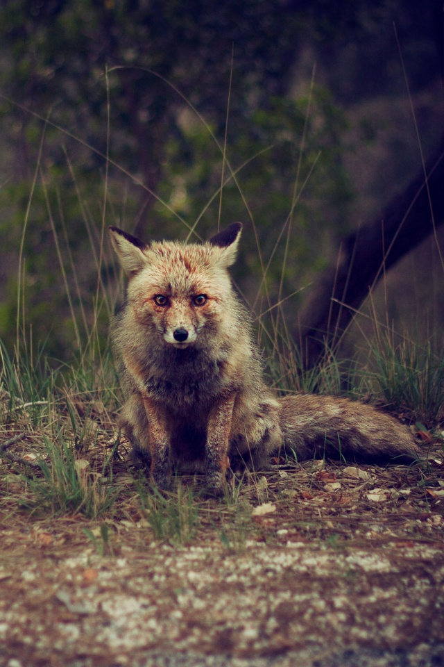 Forest Animal Wilderness Fox Mobile Wallpaper Mobiles Wall
