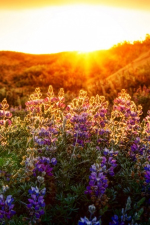 The Lupines At Sunset Mobile Wallpaper