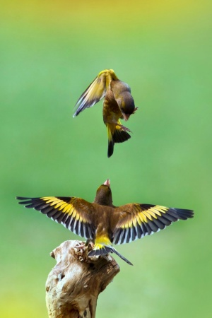 Goldfinch Birds Mobile Wallpaper