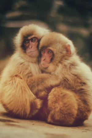 Snow Monkeys Mobile Wallpaper