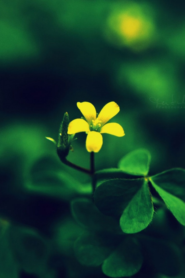 Yellow Flower Mobile Wallpaper Mobiles Wall