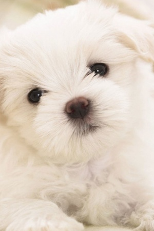 White Fluffy Puppy Mobile Wallpaper
