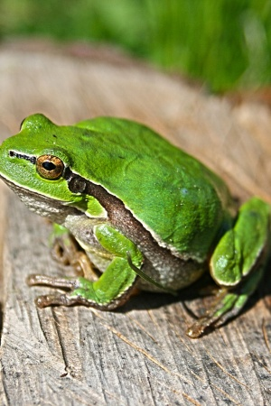 Animal Green Frog Mobile Wallpaper