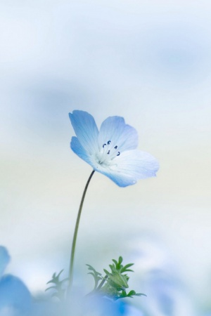 nemophila Mobile Wallpaper
