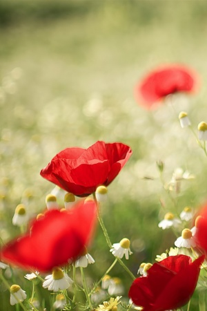 poppies and chamomile Mobile Wallpaper