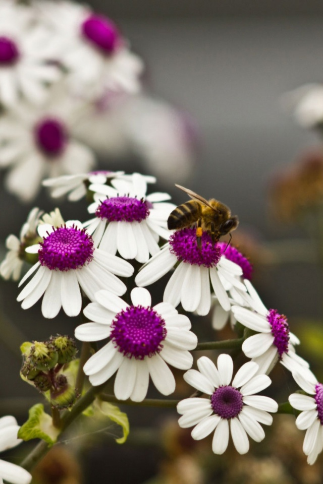 A Bee On Beautiful White Flowers Mobile Wallpaper Mobiles Wall