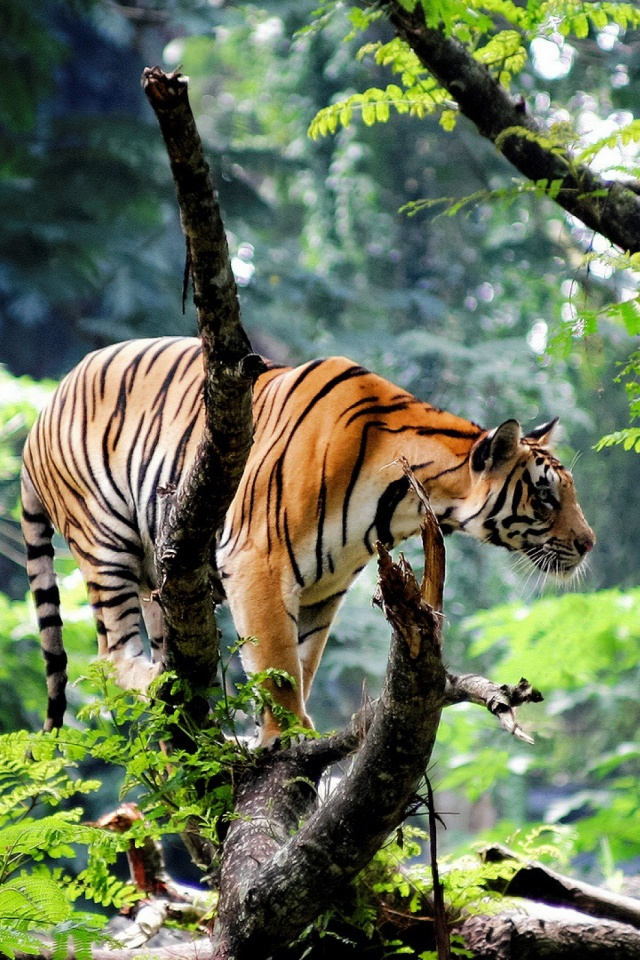 Bengal Tiger In Jungle Mobile Wallpaper Mobiles Wall