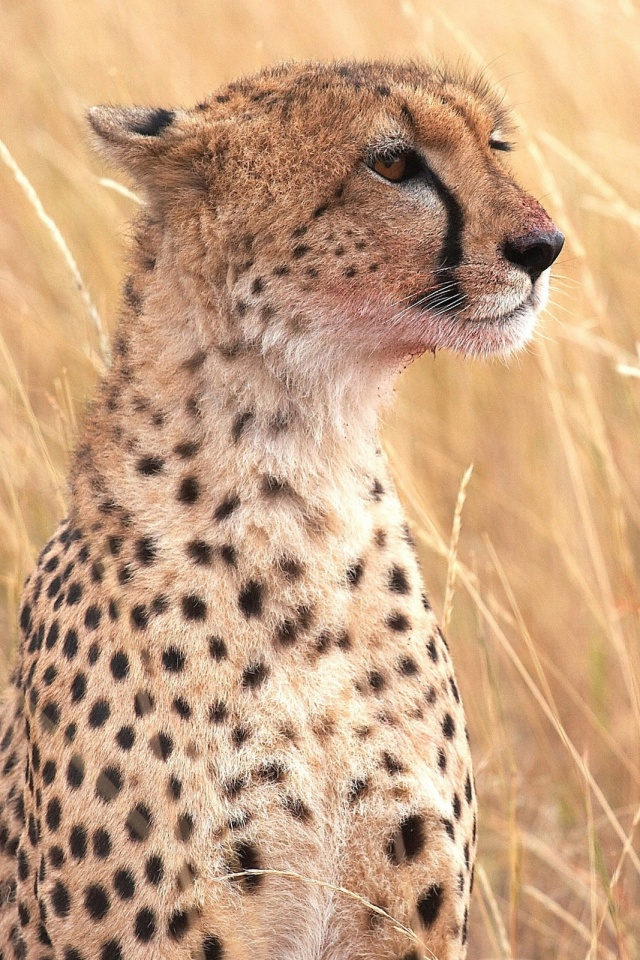 Cheetah mobile wallpaper mobiles wall download now voltagebd Choice Image