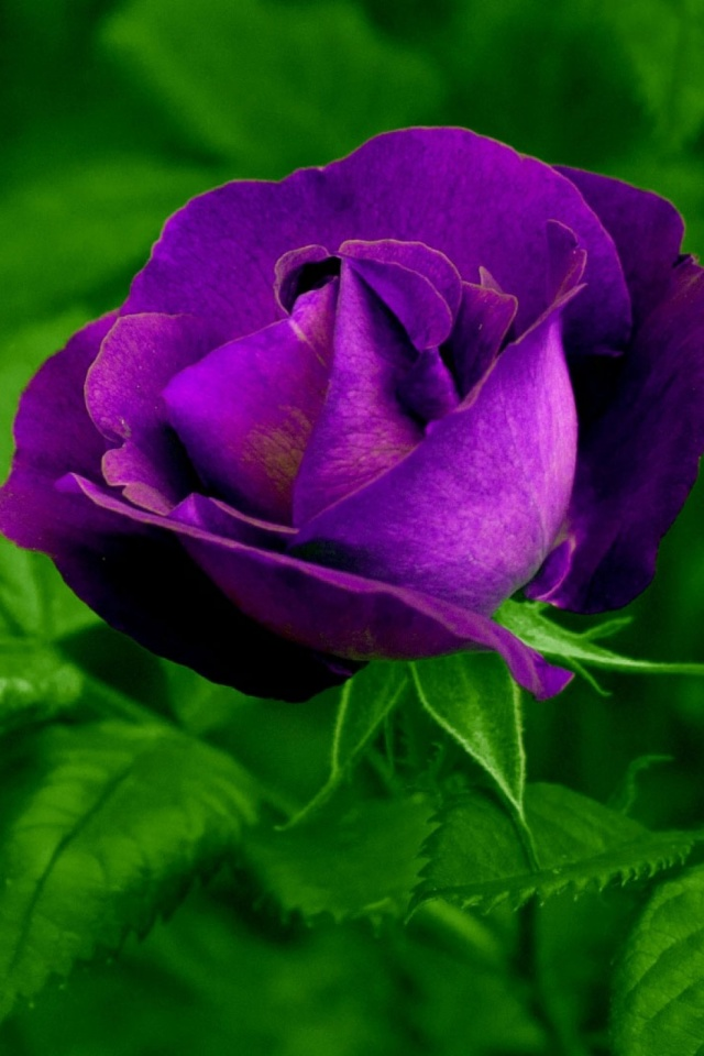 Purple Rose Mobile Wallpaper 4865 Views Preview 542