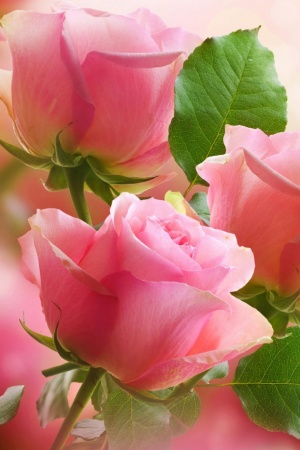 3 Light Pink Roses Mobile Wallpaper