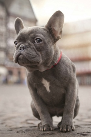 French Bulldog Mobile Wallpaper