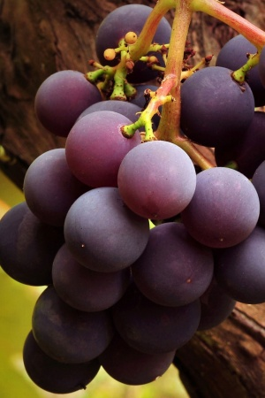 Grape Vine Mobile Wallpaper