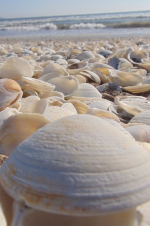 The Sea Shells Mobile Wallpaper