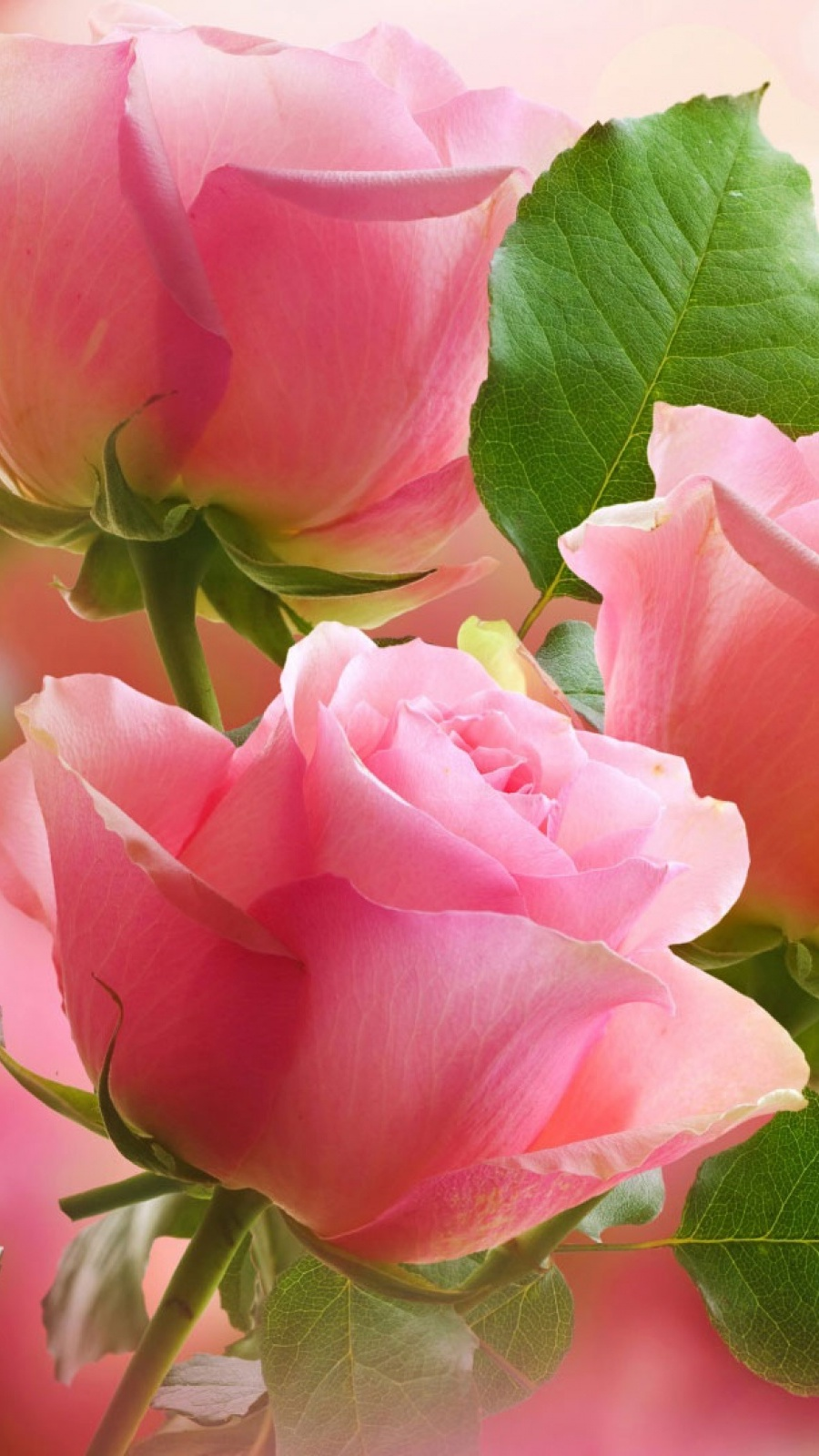 3 Light Pink Roses Mobile Wallpaper Mobiles Wall
