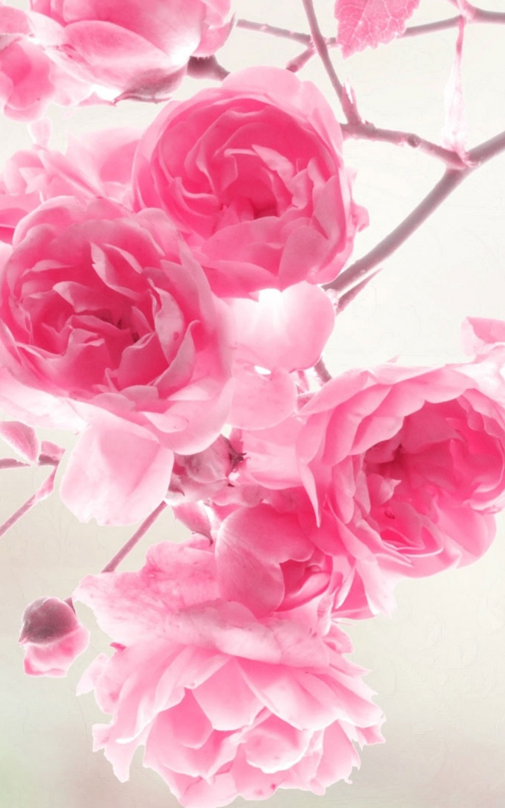 Pink roses flowers mobile wallpaper mobiles wall mightylinksfo