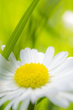 Camomile Mobile Wallpaper