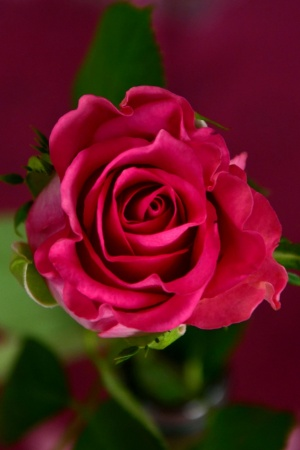 Flower Roses Red Roses Bloom Mobile Wallpaper