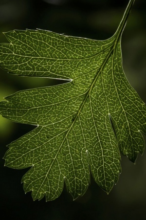 Hawthorns Leaf Mobile Wallpaper