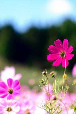 Pink Cosmos Flowers Mobile Wallpaper