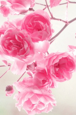 Pink Roses Flowers Mobile Wallpaper