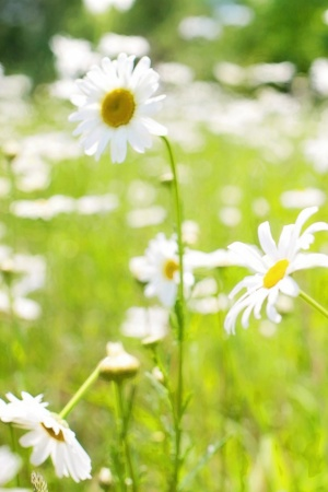 daisies field Mobile Wallpaper