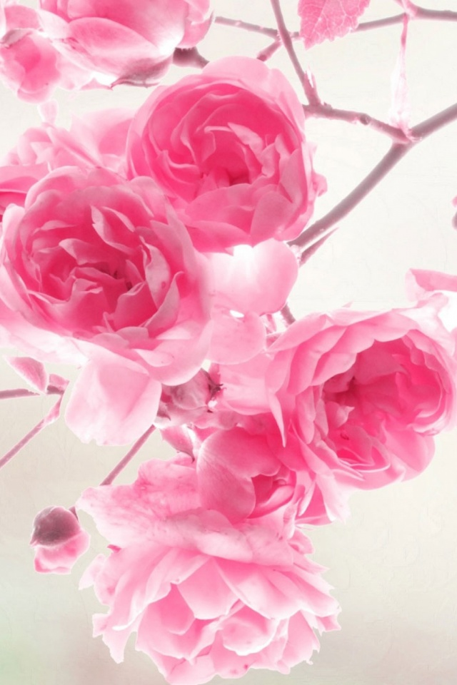 Pink Roses Flowers Mobile Wallpaper Mobiles Wall