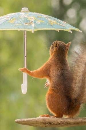 squirrel umbrellas pose branch Mobile Wallpaper